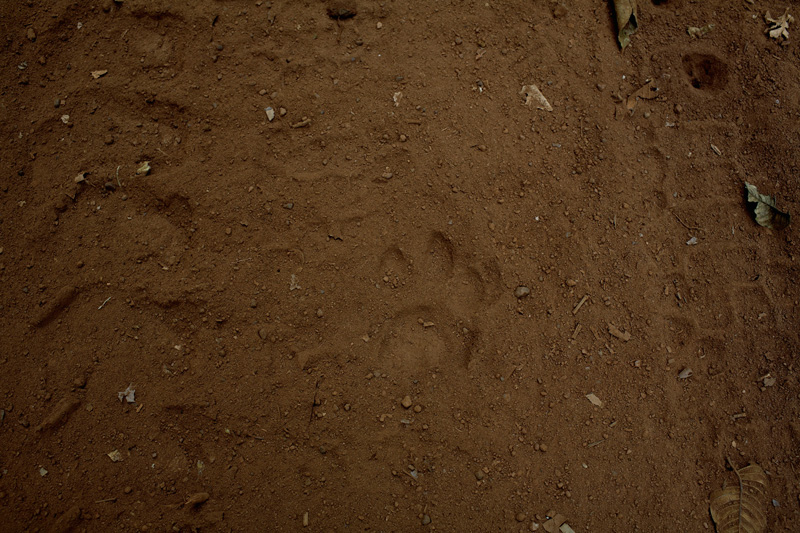 Wild cat foot print mix with caterpillar´s in the Bolivian rain forest.