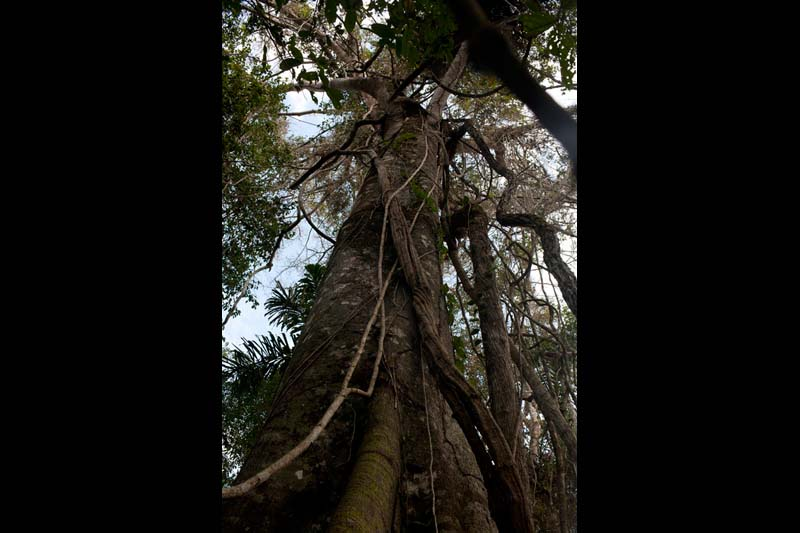 A tree ready to be logged stands in the Bolivian Amazon.