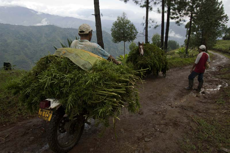 Farmers carry marijuana plants to be dry before packing them into 12,5 pound bricks, Cauca, Colombia
