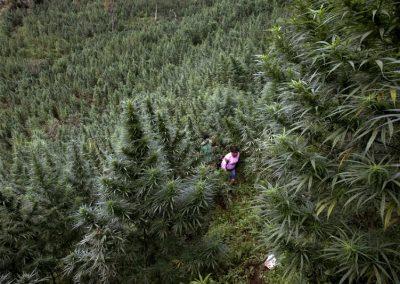 Marijuana in Cauca