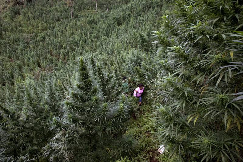 Marijuana plantation / Farmers walk out of a one hectary marijuana plantation, Cauca, Colombia