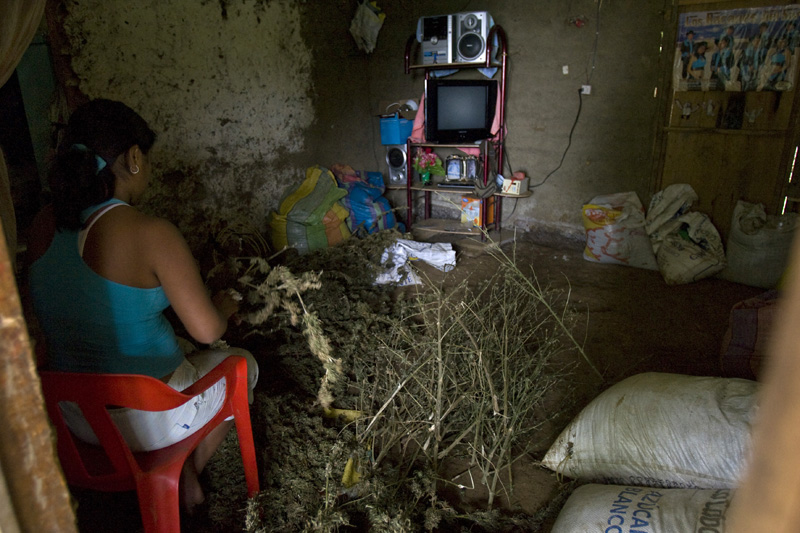 A woman cleans up marijuana plants to be pressed into 25 pound bricks. Cauca, Colombia