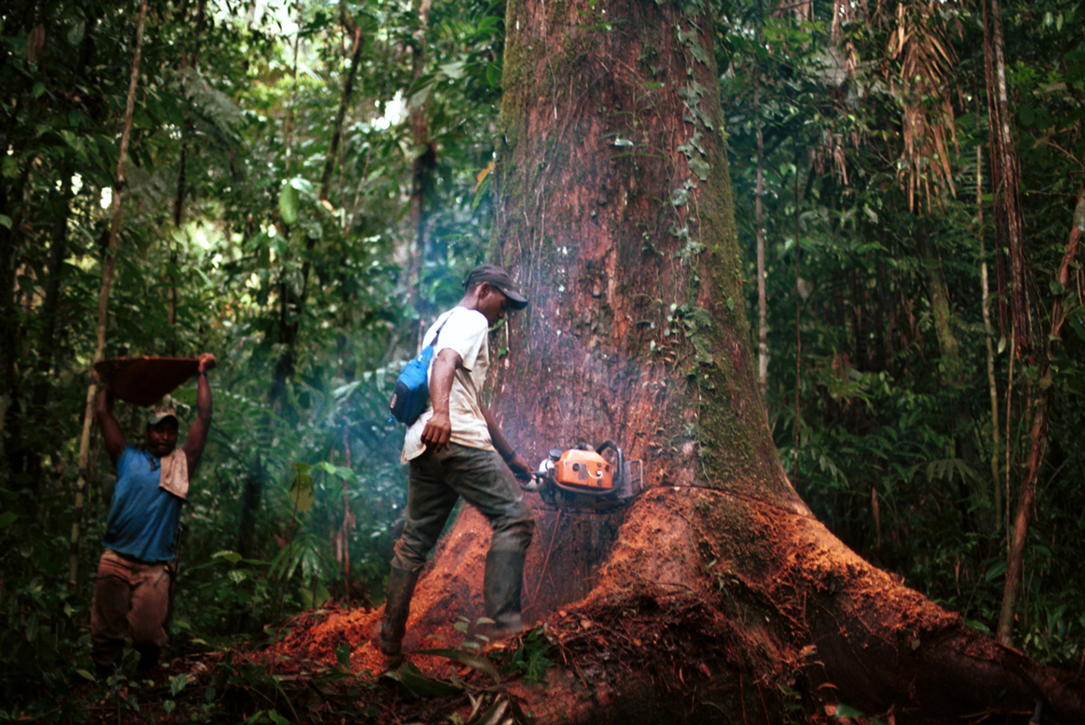 A couple of loggers work on an Abarco tree, one of the few standing in the Taparal river, Colombia, 2005.