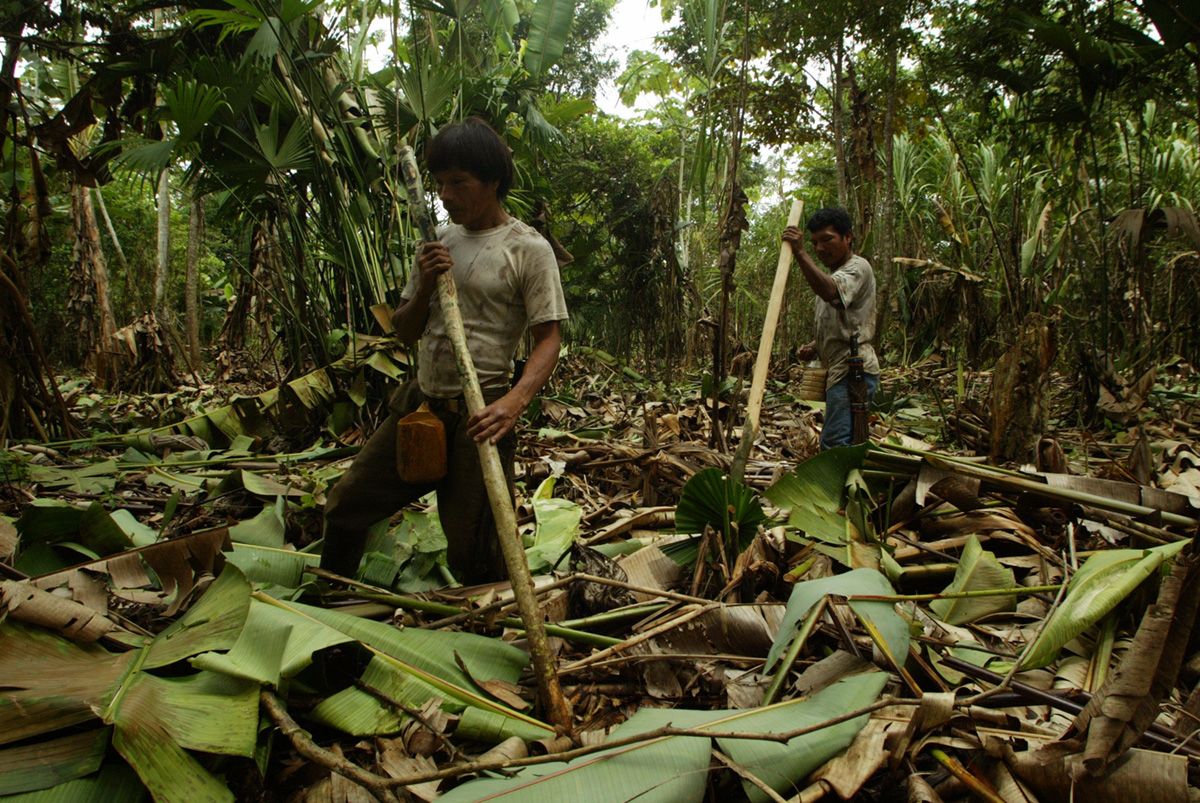 Embera indigenous sowing corn near the Salaqui river, Colombia, 2004.