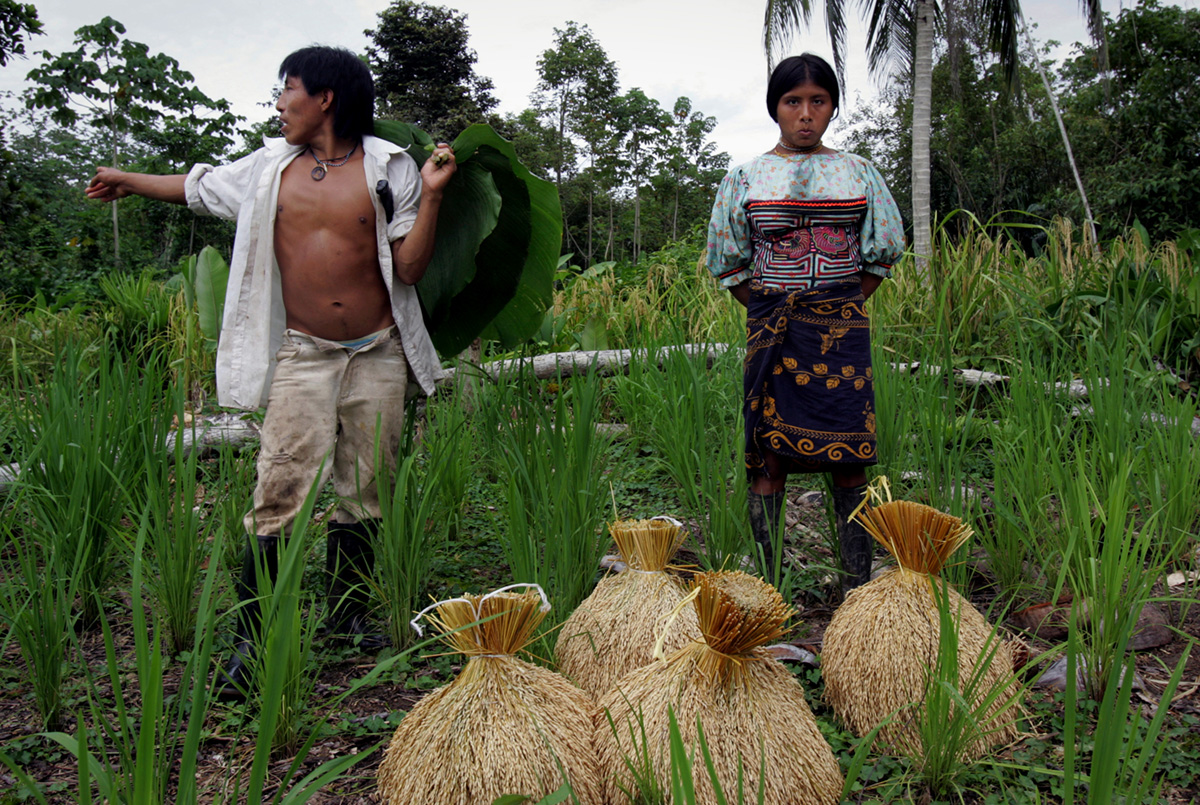 Tule indigenous harvesting rice near the village of Arquia, Colombia, 2006.